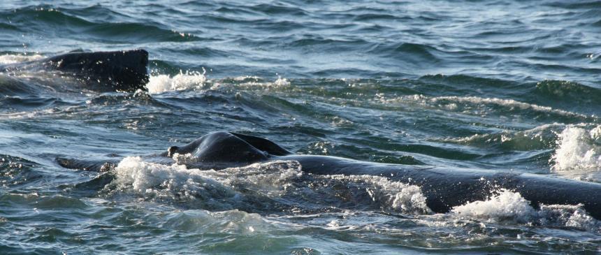 Humpback whale breath